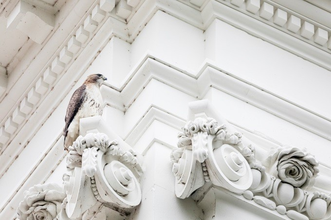 A red tailed hawk can be seen resting on the exterior of the White House, Tuesday, April 3, 2018, in Washington, D.C. The hawk has created a nest atop the Eisenhower Executive Office Building at the White House.